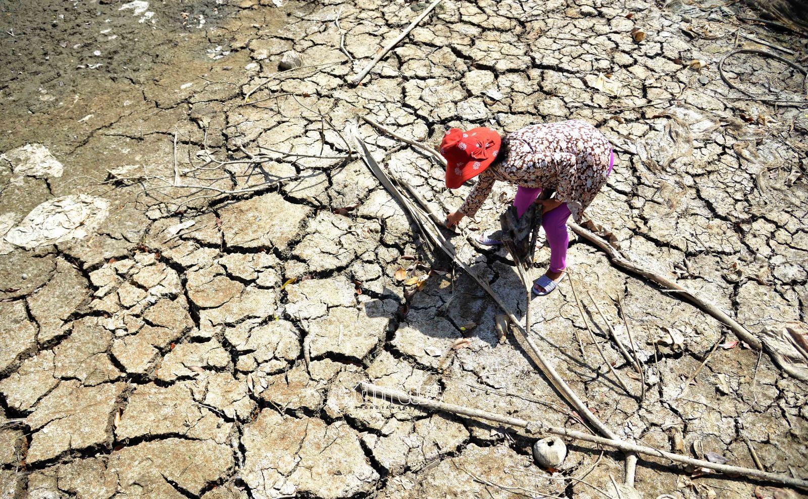 Cô Võ Thị Loan (52 tuổi, ngụ xã Tân Phước, huyện Gò Công Đông, tỉnh Tiền Giang) đang đi mót củi trên nền đất nứt nẻ do khô hạn, xâm nhập mặn. Cô Loan chia sẻ, chưa có năm nào hạn, mặn khốc liệt như năm nay. Đây là kênh lớn ven đê trên địa bàn xã để phục vụ tưới tiêu cho ruộng đồng và sinh hoạt, nhưng đến nay đã cạn trơ đáy.